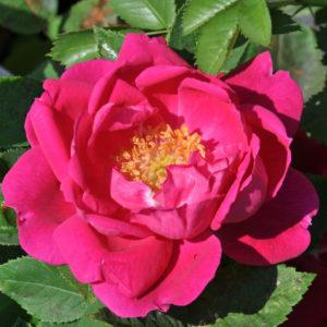 Róża Victor Verdier
