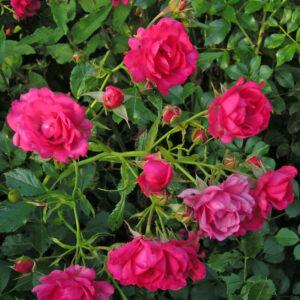 Róża Viking