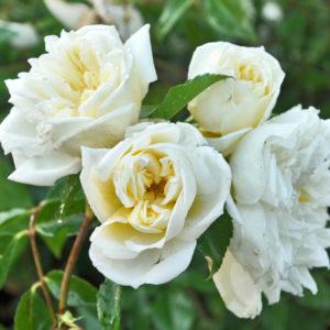 Róża Albéric Barbier