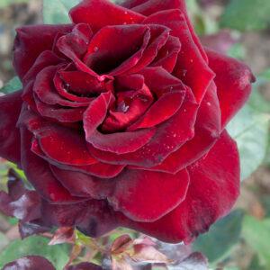 Róża Barkarole