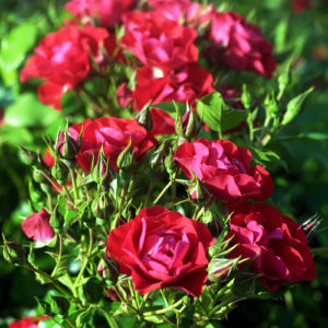 Black Forest Rose® ADR 2010