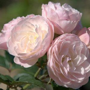 Bouquet Parfait® (Lens, 1989)