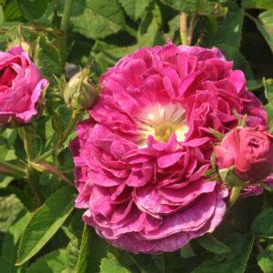 Róża Charles de Mills