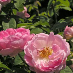 Róża Constance Spry