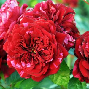 Róża Deep Impression