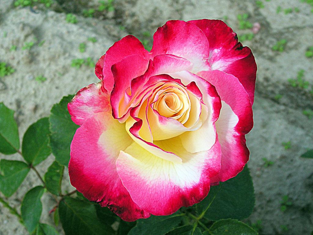 Róże wielkokwiatowe