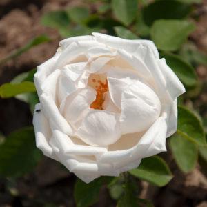 Róża Frau Karl Druschki