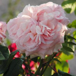 Garden Of Roses® ADR 2009
