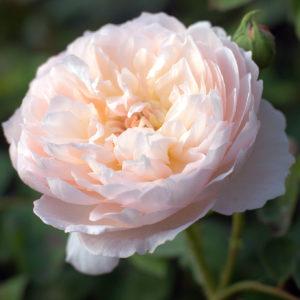 Róża Glamis Castle