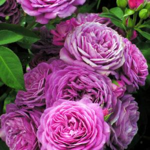 Heidi Klum Rose® (Tantau, 2006)