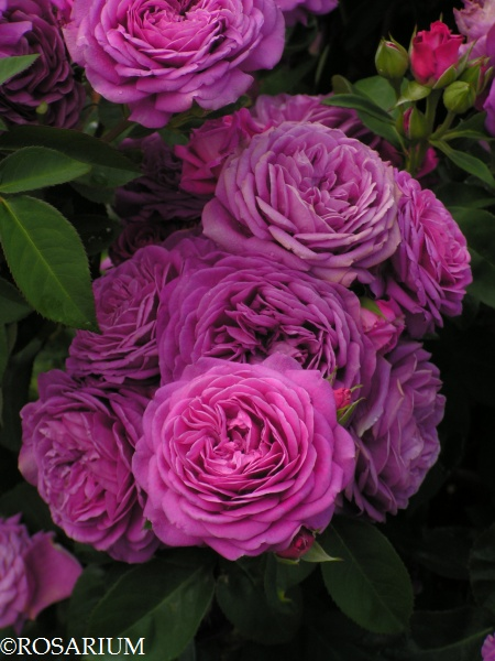 Róże rabatowe (wielokwiatowe)