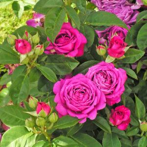Róża Heidi Klum Rose