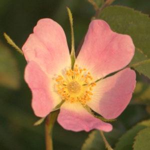 Rosa Karpatia (Rosa Pomifera)