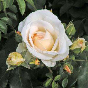 Róża Kosmos