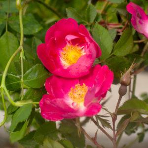 Rosa Foetida 'Parkfeuer'