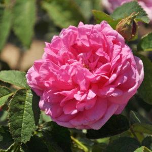 Rosa Centifolia 'Salet'