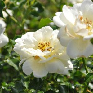 Sunny Rose