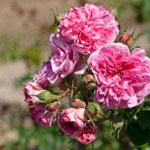 Uetersens Rosenprinzessin