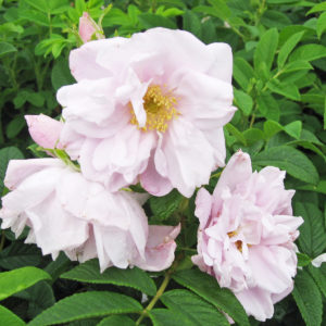 Rosa Rugosa 'Snow Pavement'