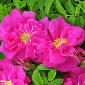 Rosa Rugosa 'Scarlet Pavement