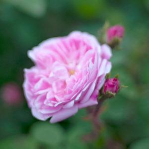 Róża Perle von Weissenstein