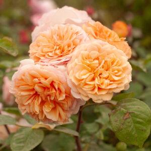Róża Charles