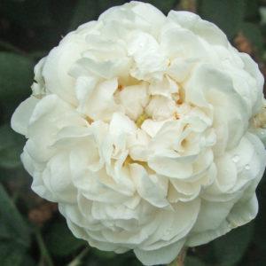 Blanc De Vibert