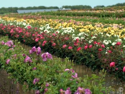 Róże pienne (sztamowe)