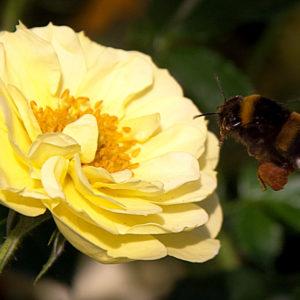 Bienenweide Gelb® (Tantau, 2012)