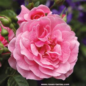 Róża Camelot