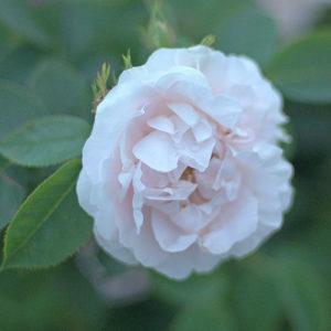 Róża Great Maiden's Blush