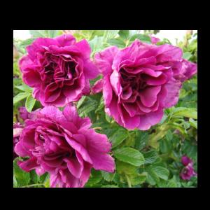 Rosa rugosa 'Roseraie de l'Hay'