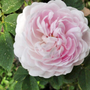 Róża Pompon Blanc Parfait