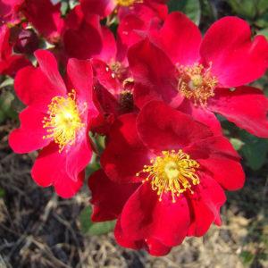 Poppy Rose® (Lens, 2013)