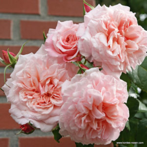 Rose De Tolbiac® (Kordes, 2013)