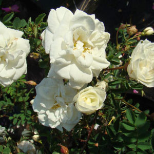 Rosa Spinosissima 'Kakwa'