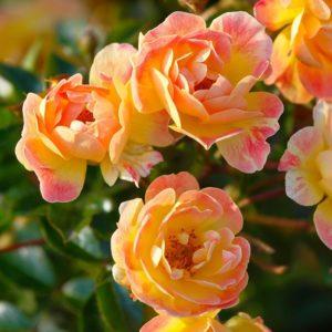 Bienenweide® Fruity (Rosen Tantau)