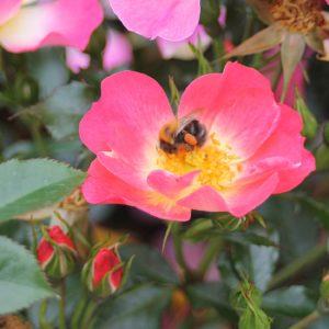 Bienenweide® Bicolor (Rosen Tantau)