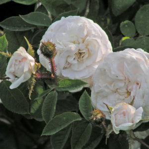 Rosa centifolia 'Blanche Moreau'