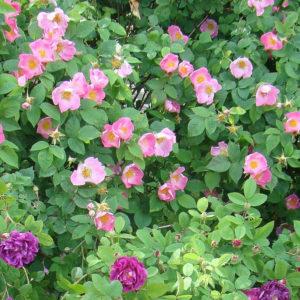 Rosa gallica 'Complicata'