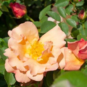 Róża Fighting Temeraire