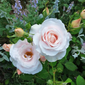 Róża Królowa Warszawy