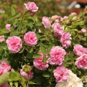 Rosa centifolia 'Rose de Meaux'
