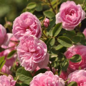 Rose De Meaux