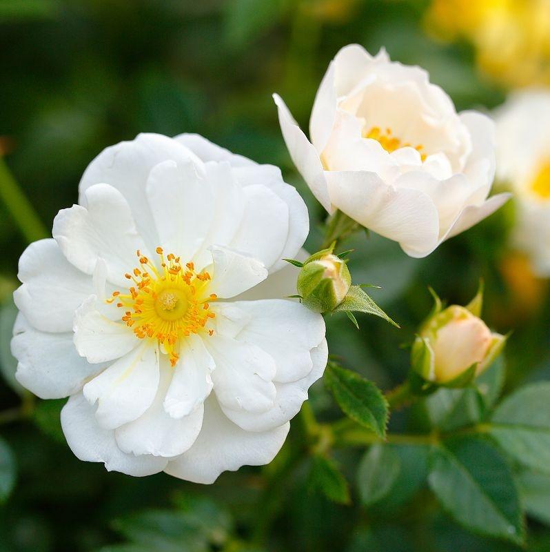 Róże okrywowe