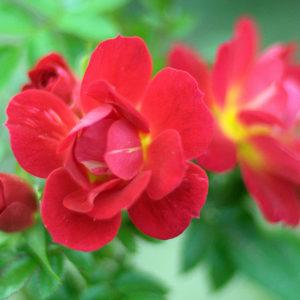 Bienenweide® Hellrot (Rosen Tantau)