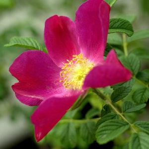 Rosa rugosa 'Red Dagmar'