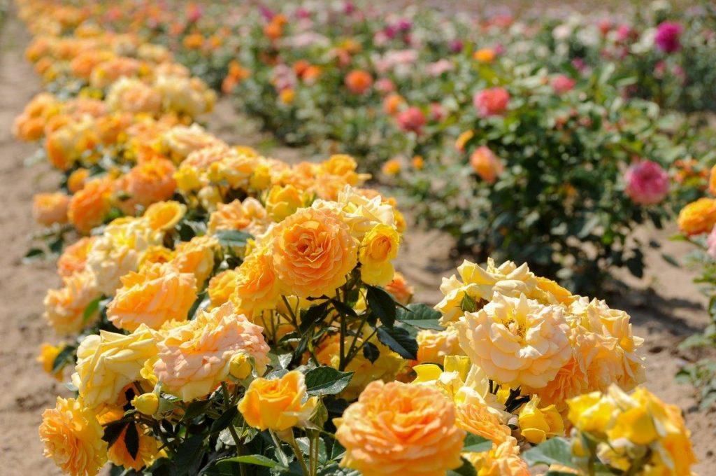 Szkółka Róż Rosarium