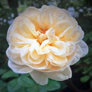 Róża Alexandrine