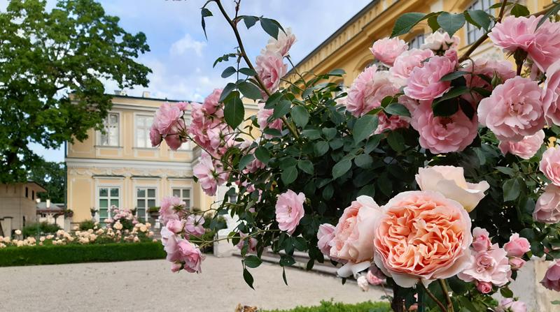 Rosarium – Partnerem botanicznym Muzeum w Wilanowie